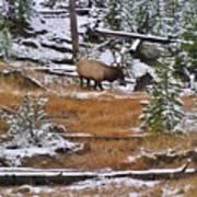 Bull Elk Feeding In Winter Poster