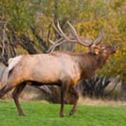 Bull Elk In Rutting Season Poster
