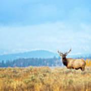Bull Elk Meadow Poster