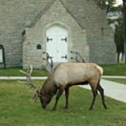 Bull Elk On The Church Lawn Poster