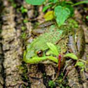 Bull Frog On A Log Poster
