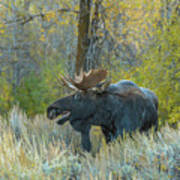 Bull Moose In The Evening Poster