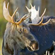 Bull Moose Up Close Poster