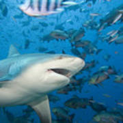 Bull Shark Poster