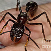 Bullet Ant On Hand Poster