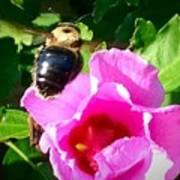 Bumble Bee Flying To Flower Poster