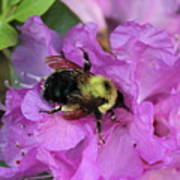 Bumble Bee On Rhododendron Blossoms Poster