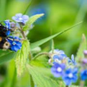 Bumble Bee On Siberian Bugloss Poster