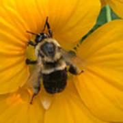 Bumble Bee On Yellow Nasturtium Poster