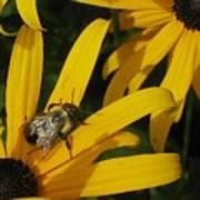 Bumble Bee Sitting On Black-eyed Susan Poster