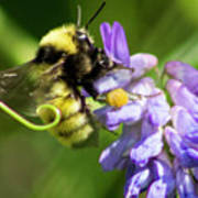 Bumblebee On A Blue Giant Hyssop Poster