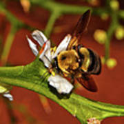 Bumblebee On A Hardy Orange Blossom 002 Poster
