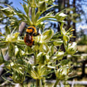 Bumblebee On Elkweed Blossoms Poster