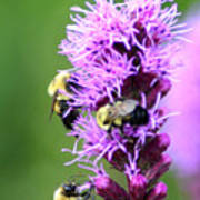 Bumblebees On Liatris Poster