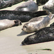 Bunch Of Harbor Seals Resting On A Beach Poster