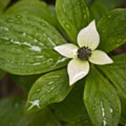 Bunchberry Cornus Canadensis Poster