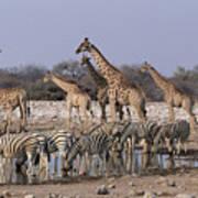 Burchells Zebra Equus Burchellii Poster