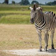 Burchell's Zebra On Grassy Plain Facing Camera Poster