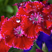 Burgandy Red Dianthus Poster