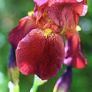 Burgundy Iris Poster