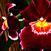 Burgundy Orchids Poster