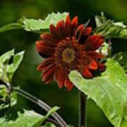 Burgundy Red Sunflower Poster