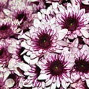 Burgundy White Crysanthemums Poster