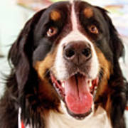 Burmese Mountain Dog Poster