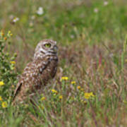 Burrowing Owl And Flowers Poster