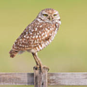Burrowing Owl IIi Poster