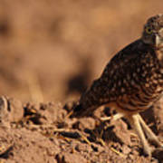 Burrowing Owl Looking Back Over Shoulder Poster