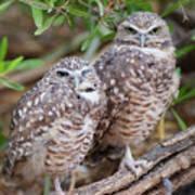 Burrowing Owl Pair  Poster