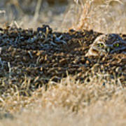Burrowing Owl Peaking Outta The Hole  Poster