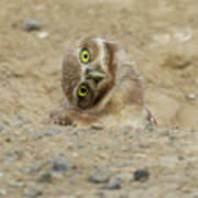 Burrowing Owl Tilted Head Poster