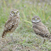 Burrowing Owls Nesting Poster