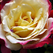 Burst Of Rose Poster
