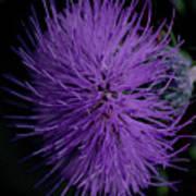 Burst Of Violet Poster