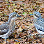 Bush Stone Curlew Pair Poster