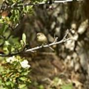 Bushtit On Branch In The Sun Poster