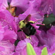 Busy Bee Collecting Pollen On Rhododendron  Poster