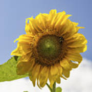 Busy Bee On A Sunflower Poster