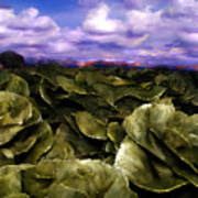 Butter Lettuce In Yuma Poster