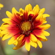 Butter Yellow And Crimson Red Coneflower Poster