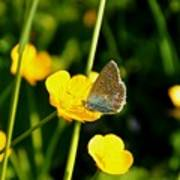 Buttercup Butterfly Poster