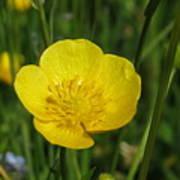 Buttercup Flower Poster