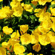 Buttercup Flowers Poster