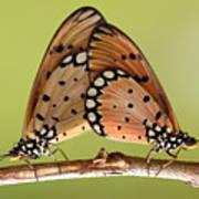 Butterflies Mating Poster
