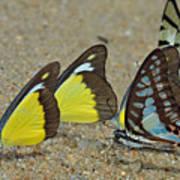 Butterflies Puddling Poster