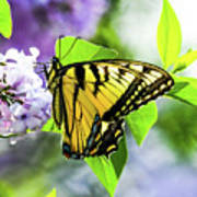 Butterfly And Lilacs Poster