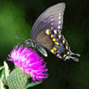 Butterfly And Thistle Poster
